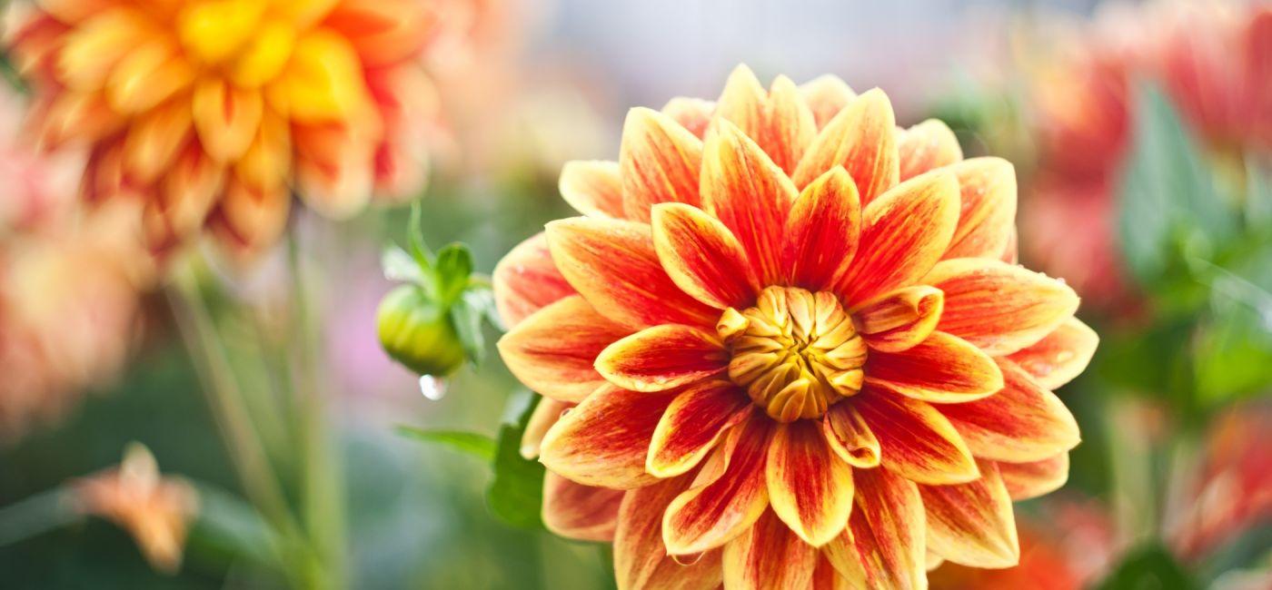 Pomarańczowe kwiaty w jesiennym ogrodzie to dalie