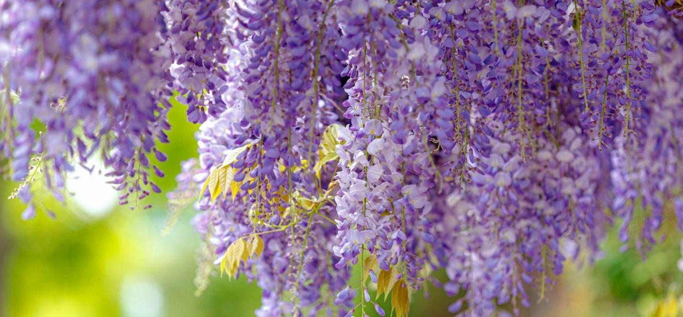 Wisteria glicynia – pięknie kwitnące pnącze