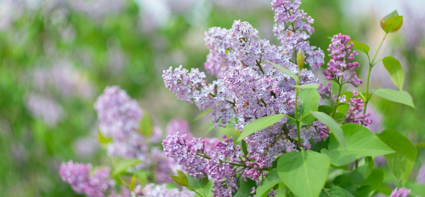 Lilak pospolity - bez w ogrodzie