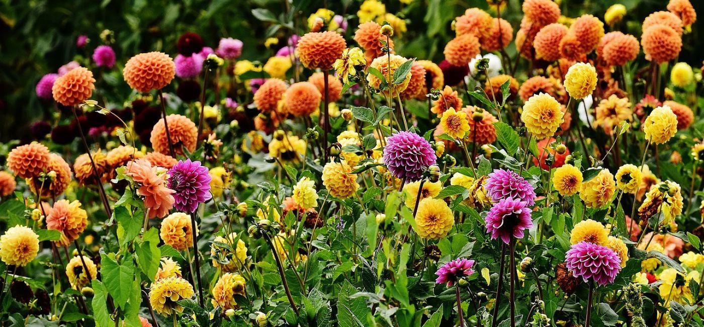 Baza Roślin Byliny Ogrodowe Werandapl