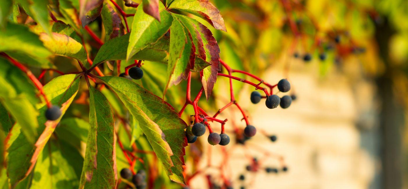 Dzikie wino znane tez jako winobluszcz