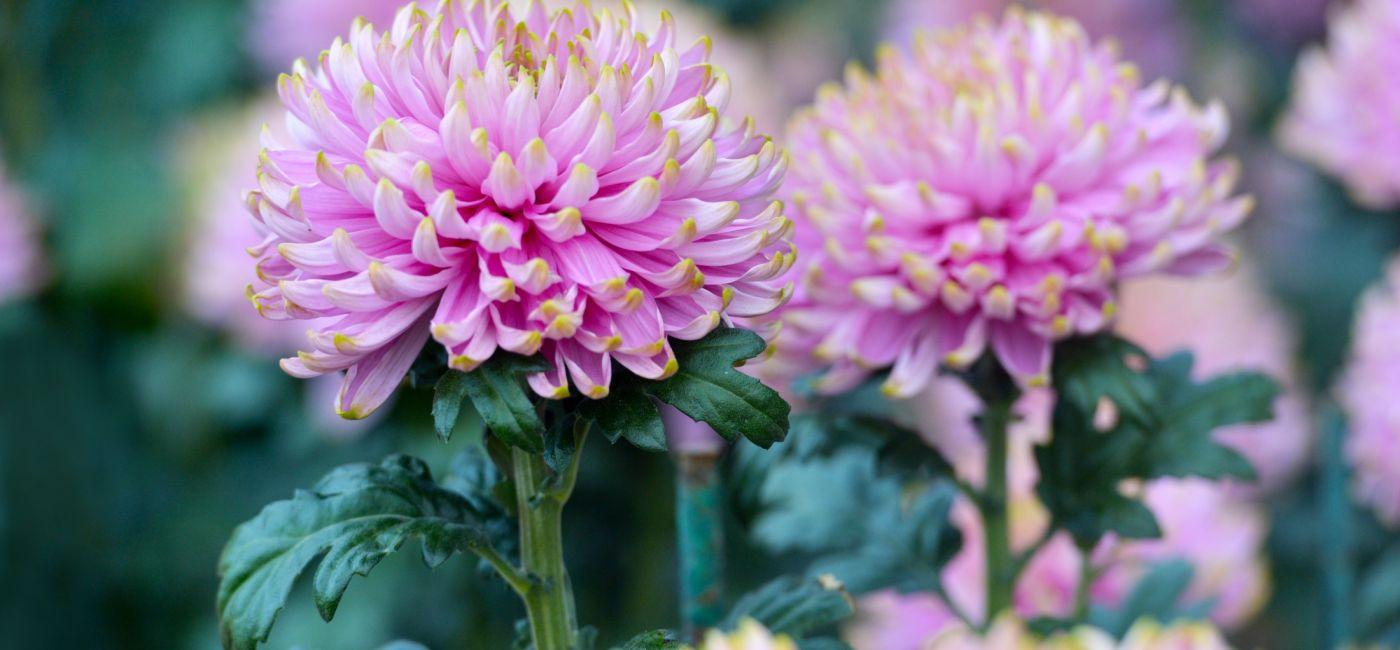 Chryzantema - kwiat cesarzy