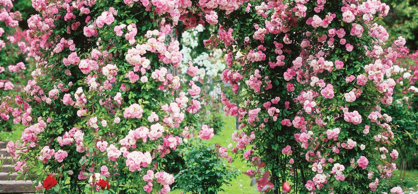 roze-pnace.jpg