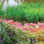 Amaranty, karmazyny, pomarańcze... W różanecznikowym ogrodzie