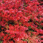 Berberys różowy