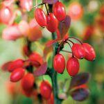 Berberys czerwony