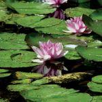 Claude Monet był zakochany w egzotycznych nenufarach.