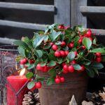 golteria świąteczna roślina z czerwonymi kulkami