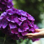 Hortensje fioletowa