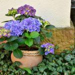 Hortensje niebieska
