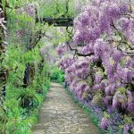 kwiaty ogrodowe wisteria