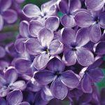 kwiaty ogrodowe lilak pospolity