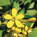 kwiaty ogrodowe porzeczka złota