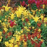 kwiaty ogrodowe lak wonny i tulipany