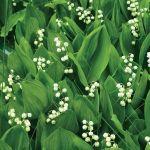 kwiaty ogrodowe konwalia majowa