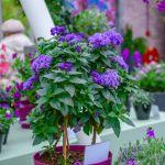 kwiaty balkonowe Heliotrop