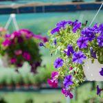 kwiaty wiszące balkonowe surfinie