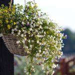 kwiaty wiszące balkonowe bakopa