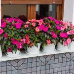 Niecierpek  kwiaty na balkon