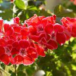 Pelargonie czerwone