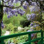 Kwitnąca wisteria tworzy nad mostem fioletowe sklepienie.