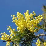 mimoza kwiaty