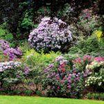 Obfitość kwitnienia zachwyca. W różanecznikowym ogrodzie