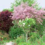 Ogród zachwyca bogactwem kolorów. Kwitnący jasnoróżowo tamaryszek kontrastuje z purpurowym berberysem.