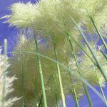 Na zdjęciu biała odmiana trawy pampasowej.