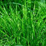 Bez względu na rodzaj uprawianej trawy, należy ją pielęgnować regularnie