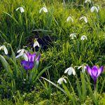 Trawnik łąkowy jest przebojem ogrodniczym.