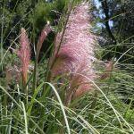 Trawa pampasowa rośnie nawet do 3 metrów.