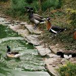 Po stawie pływają różne gatunki kaczek i gęsi (kaczki czernice, bernikle rdzawoszyje i obrożne).