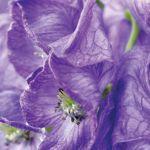 Tojad z kwiatami jak kaptury mnicha łatwo może zauroczyć. Ale uwaga, bywa niebezpieczny!