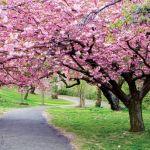 W Japonii mieszkańcy miast tłumnie wylegają do parków, by piknikować i sycić się widokiem sakury.