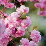 Wiśnia japońska