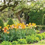 ogród bukszpan żywopłot tulipany