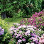 wszelkie odmiany Rhododendron Catawbiense . Są wyjątkowo odporne na mróz, a po kilkudziesięciu latach możemy