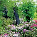 W różanecznikowym ogrodzie