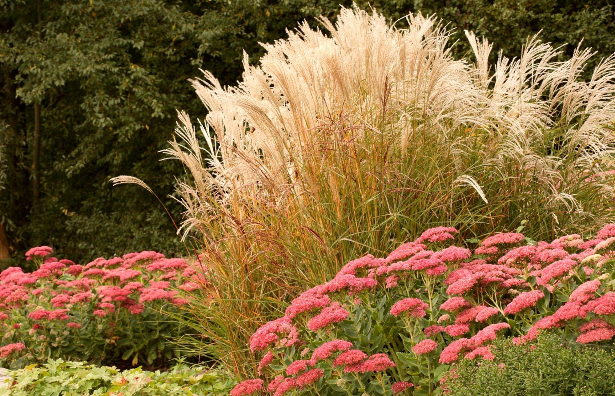 trawy ozdobne i rozchodnik okazały