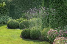 werbena patagońska w ogrodzie