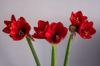amarylis – jak go uprawiać i pielęgnować