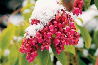 Pieris japoński Lily of the valley