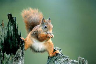 Zapominalska wiewiórka