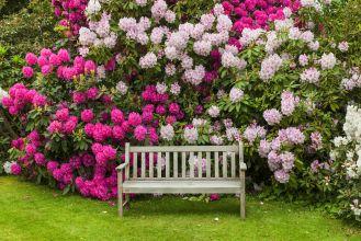 rododendron różanecznik