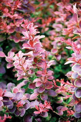 Berberys lila