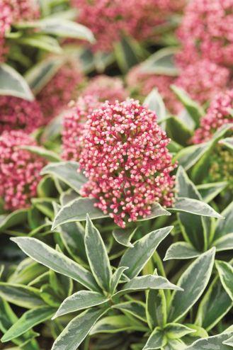 SKIMIA JAPOŃSKA. Rośliny zimozielone - które sadzić w ogrodzie?