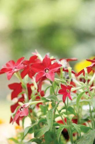 Tytoń – używka i ozdoba ogrodu