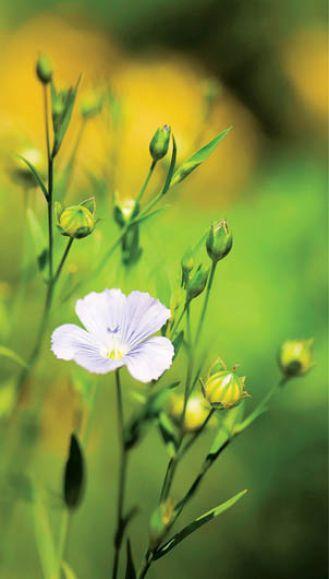 Len do ogródka. Kwiaty, rośliny, len, siemię lniane, len właściwości, len uprawa, len w ogródku