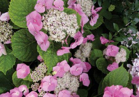 Hortensja krzewiasta różowa